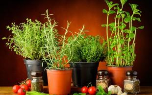 Kako zelišča vzgojite v lončku