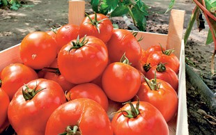 Paradižnik - malo kalorij, bogate prehranske snovi