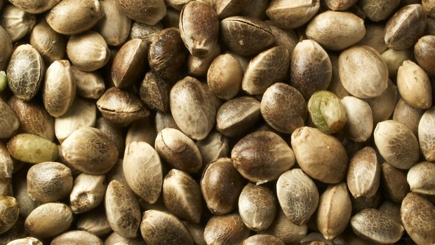 Konopljina semena – polna vitaminov in omega 3 (foto: Shutterstock.com)