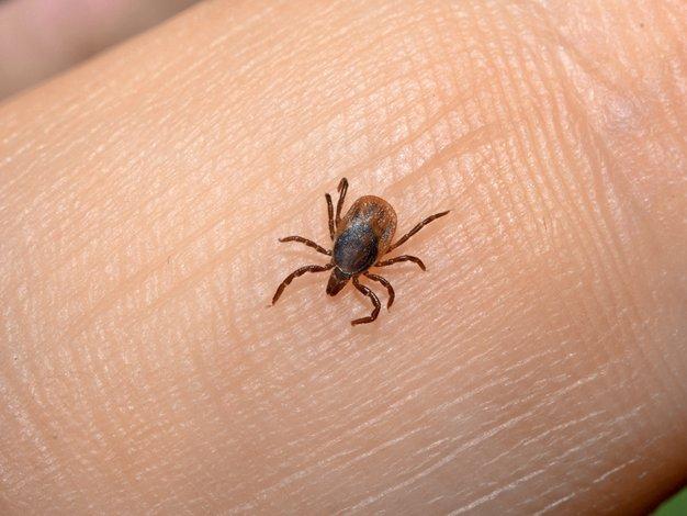 Klopi so majhni, a izredno nevarni - Foto: Shutterstock.com