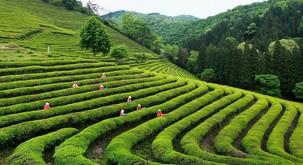 Zeleni čaj – superživilo za super rezultate