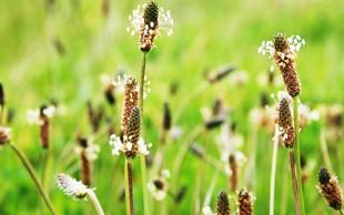 Katere rastline so povzročiteljice alergij?