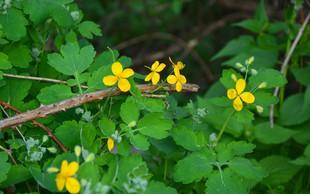 Tradicionalne zdravilne rastline