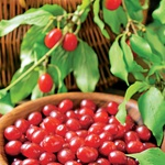 Dren: V nasprotju s številnimi divjimi sadeži, lahko ovalne plodove uživate kar surove. Ko so popolnoma zreli, so resnično sladki. (foto: shuterstock)