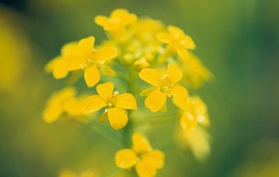 Cvetni izvlečki gorčice - zdravilo za otožnost