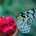 Čista narava: potapljanje v nacionalnem parku Cahuita na karibski obali je prav toliko izjemno kot farma metuljev pri mestu Guàcima, kjer gojijo več kot 40 vrst metuljev. (foto: Revija Moje Stanovanje)