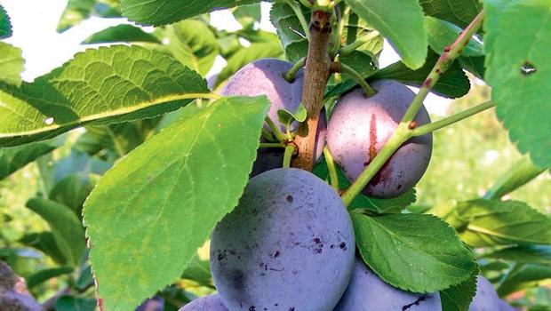 Slive, melone, bučke ... Slastno in zdravo! (foto: Revija Moj lepi vrt)
