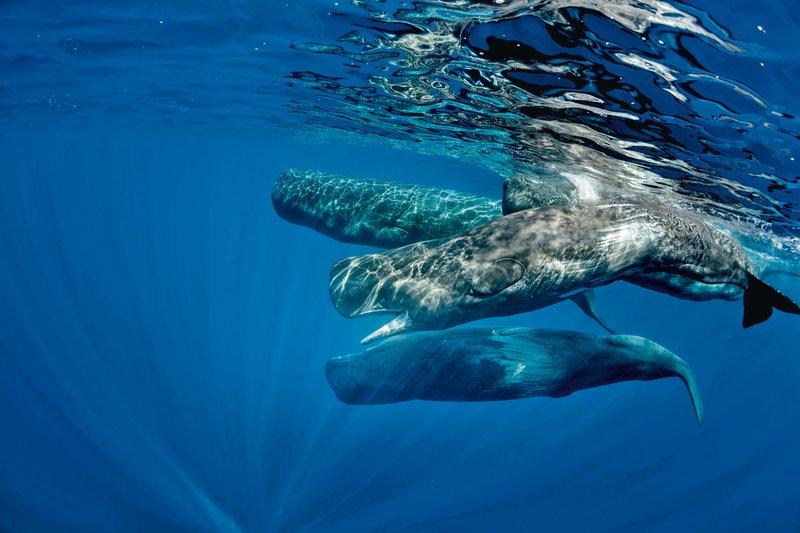 Opazovanje kitov, Azori