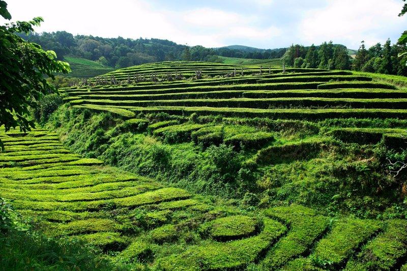 Plantaža čaja, Cha Gorreana, Azori