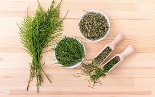 Njivska preslica: rastlina z mnogimi zdravilnimi učinki