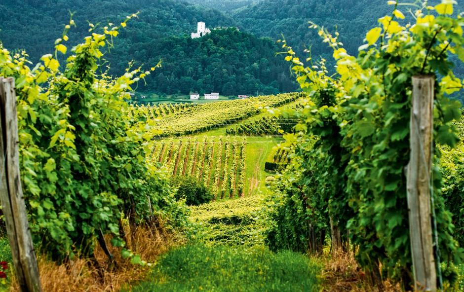 Več kot 800-letna tradicija  na Škalskih vinorodnih gričih (foto: Matic Kremžar)