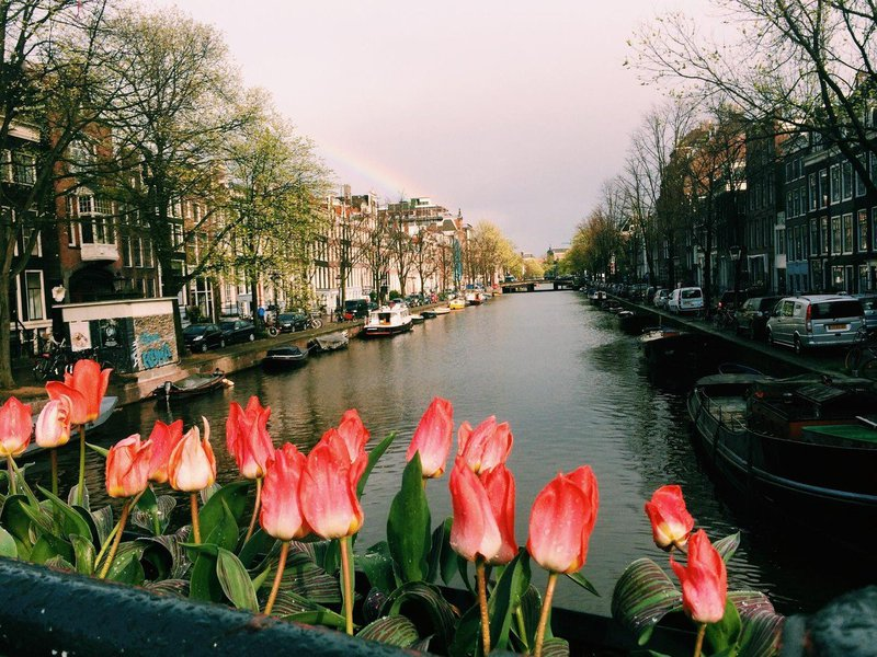 Tulipani v Amsterdamu