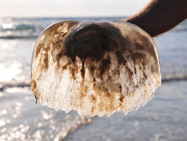 Veste, katere morske živali na Jadranu so nevarne? - Foto: Profimedia