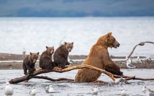 Neustrašna medvedka je z vsemi močmi ščitila svoje mladičke